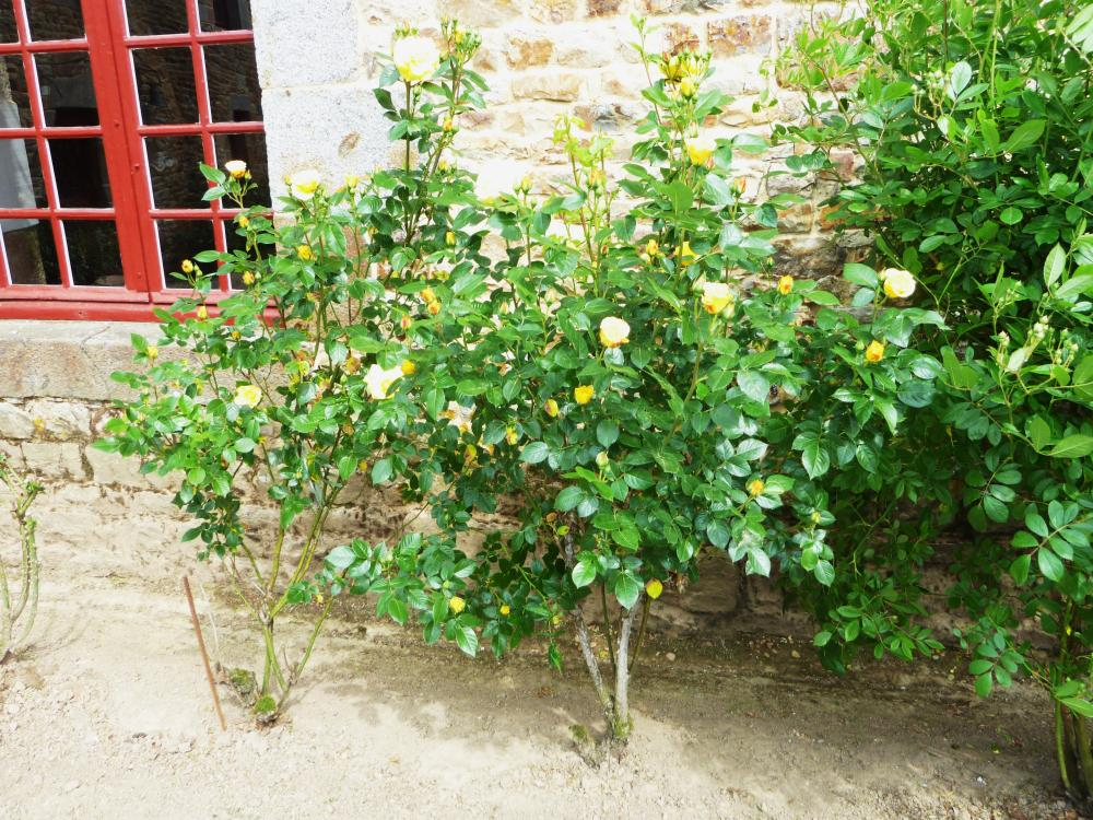 6 mai 2011, les premières roses dans la cour.