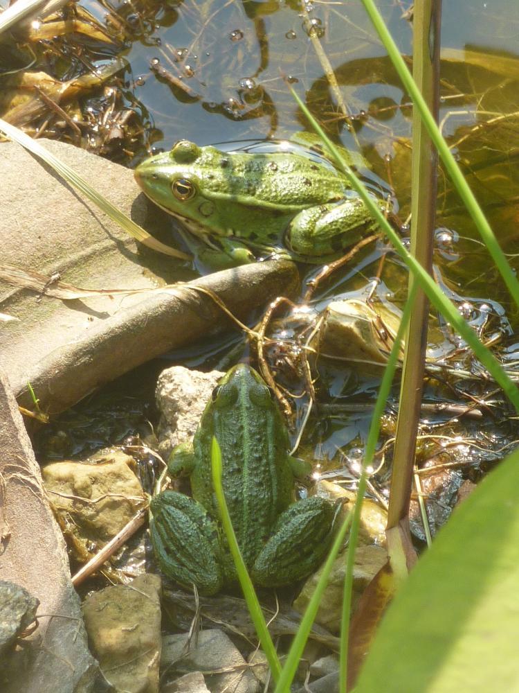 4 juin 2011, grenouilles de la Saucerie.