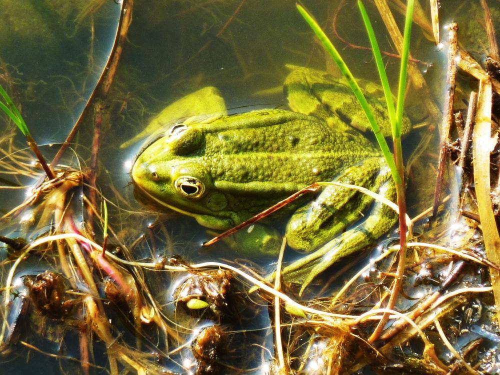 4 juin 2011, grenouille dans les douves de la Saucerie.