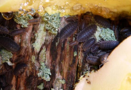 1er octobre 2011, des bestioles tapies dans l'écorce, à l'abri sous le polypore.