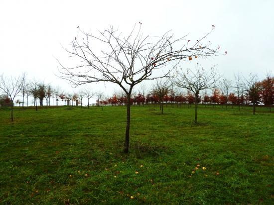 4 décembre 2011, un pommier élagué.