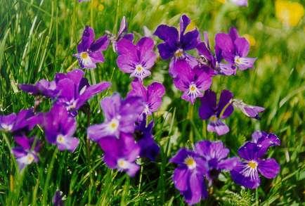 Violettes lutea.