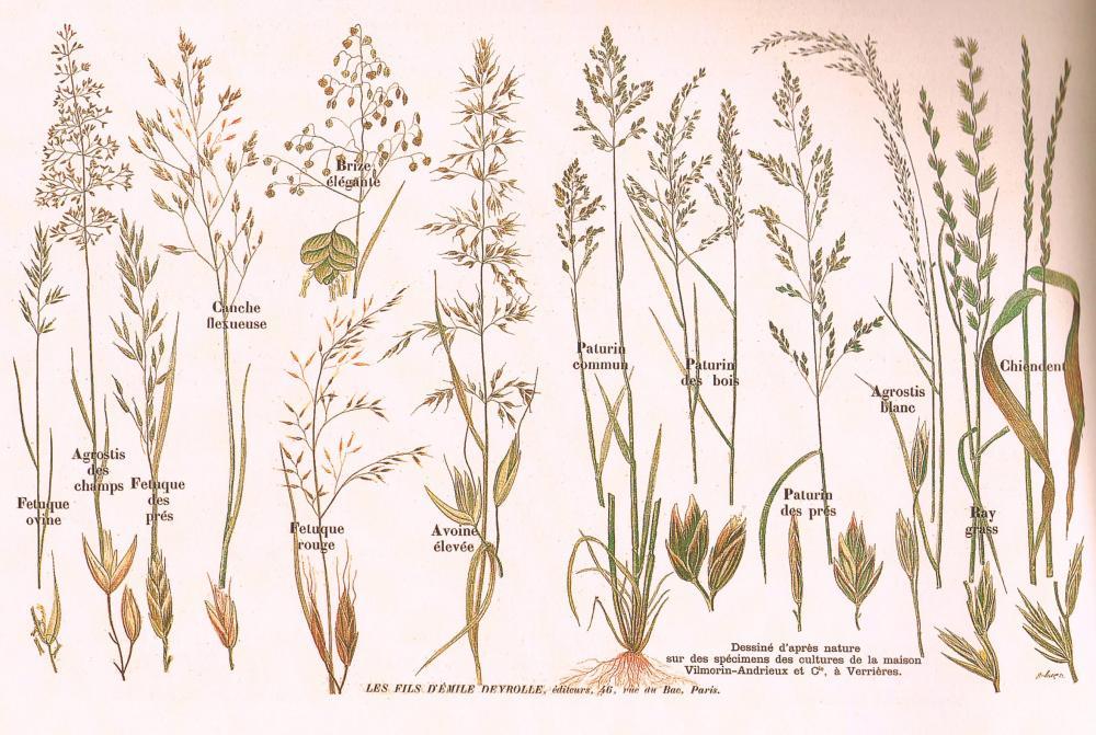 Quelques plantes fourragères des prairies naturelles, d'après Deyrolle.
