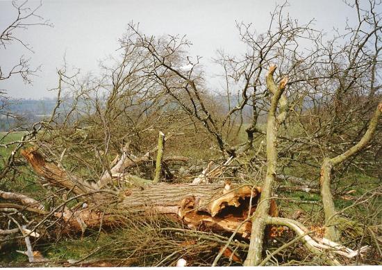 Mars 1993, abattage des chênes, ici un arbre creux.