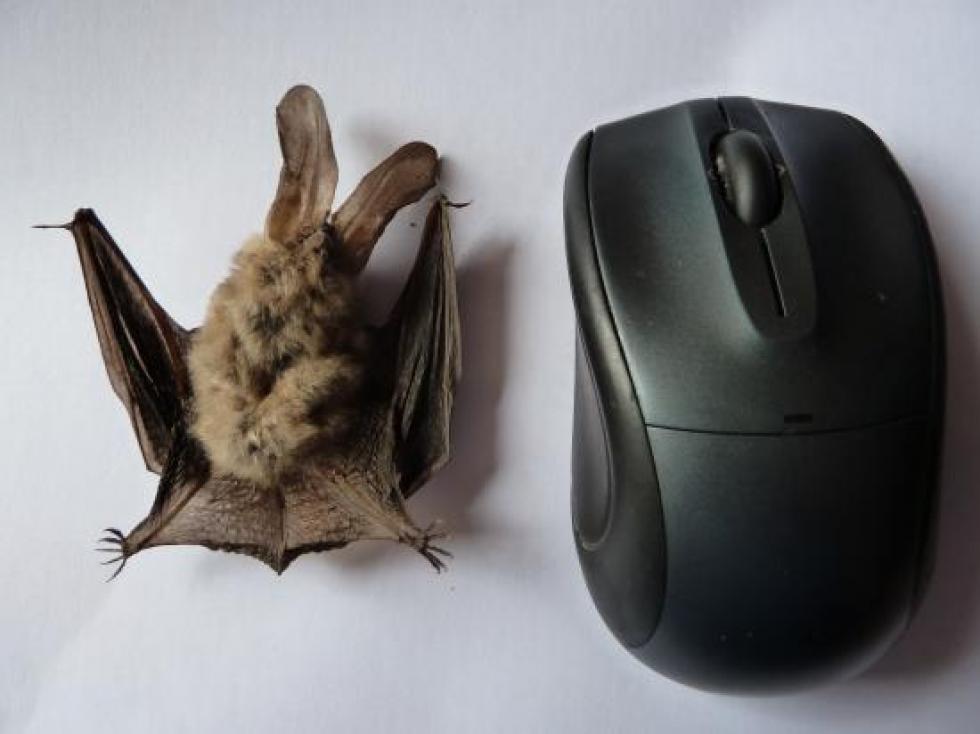 15 août 2012, une chauve-souris à identifier.