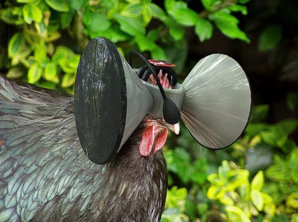 Un poulet muni d'un casque à réalité virtuelle (crédits photo: Austin Stewart)
