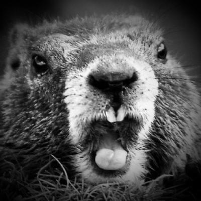 La marmotte1
