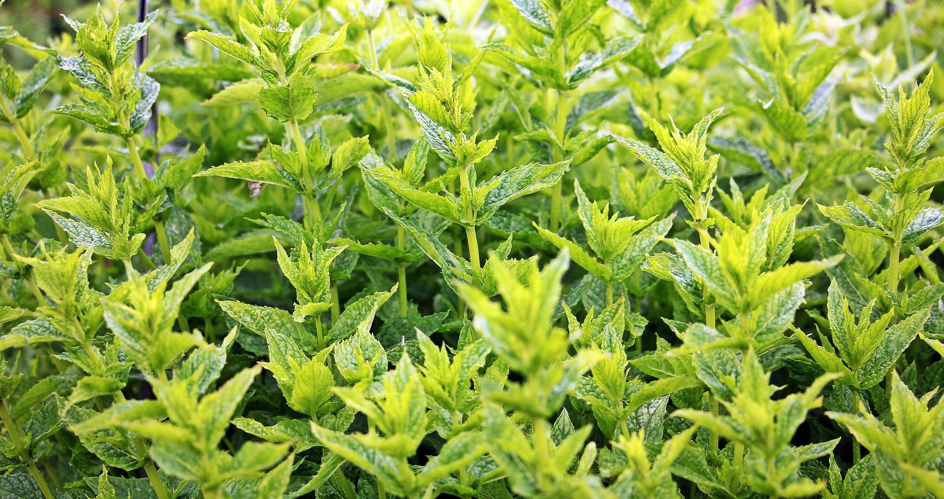 3_plantes_qui_repoussent_les_abeilles_et_les_guêpes