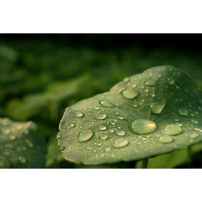 Organic Centella asiatica extract (OCAE)
