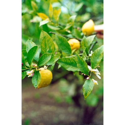 Organic lemon essential oil bergapten free