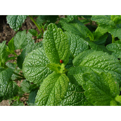 LEMON BALM AERIAL PART ORGANIC** AND COSMOS*** STABILIZED DISTILLATE