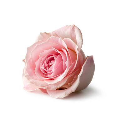Rose Absolute Centifolia