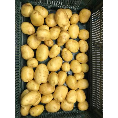Potatoes - organic farming
