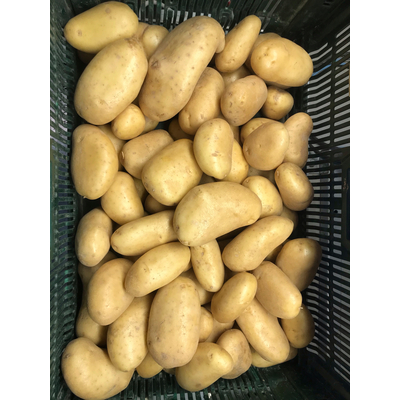 Potatoes for French fries