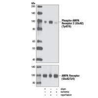 Phospho-AMPA Receptor 2 (GluA2) (Tyr876) Antibody