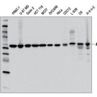 Autophagy Vesicle Elongation (Atg12 Conjugation) Antibody Sampler Kit