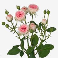 Rose branchue katelynn 40/50 cm, carton de 10 bottes
