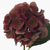 Hortensias mag rubyred, carton de 5 bottes