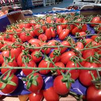 Tomate allongée pulpa / intense, colis de 6 kg