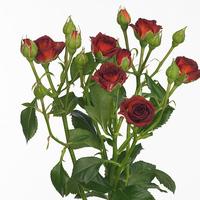 Rose Branchue CHOCCINO, carton de 10 bottes