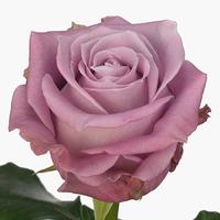 Rose MARITIME, carton de 10 bottes