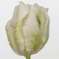 Tulipe SUPER PARROT, carton de 50 bottes