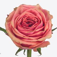 Rose SUZY, carton de 10 bottes