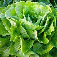 Salade laitue rouge REG catégorie 1, colis de 6 pièces