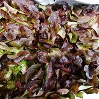 Salade feuille de chêne RG bio, colis de 12 pièces