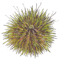 Oursin Vert Ane