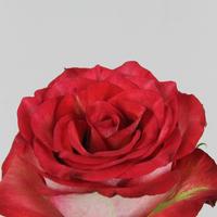 Rose gb Diabolo 50cm, carton de 10 bottes
