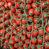 Tomate  Piccadilly