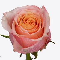 Rose50 cm jabulani, carton de 10 bottes