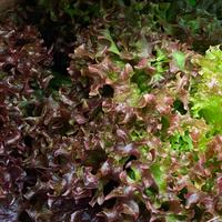 Salade lollo rossa catégorie 1, colis de 12 pièces