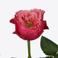 Rose CERISE VUVUZELA, carton de 10 bottes