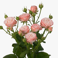 Rose branchue madame bombastic 50 cm, carton de 10 bottes