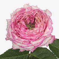 Rose COUNTRY LADY, carton de 10 bottes