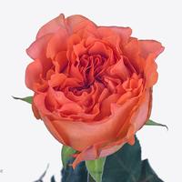 Rose ROMANZA, carton de 10 bottes