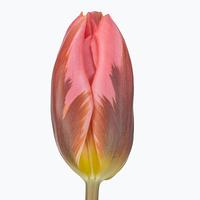 Tulipe PRETTY PRINCES, carton de 50 bottes