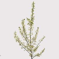 Prunus GLAND