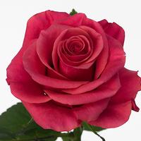 Rose TACCAZZI, carton de 10 bottes