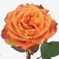 Rose SILANTOI, carton de 10 bottes
