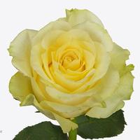 Rose MINION ROSE, carton de 10 bottes