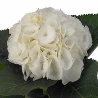 Hortensias blanc, carton de 5 bottes