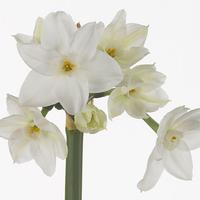 Narcisse TANIR, carton de 50 bottes