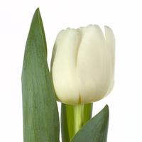Tulipe ANTARTICA, carton de 50 bottes