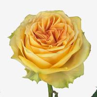 Rose LEMON FINESS, carton de 10 bottes