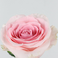 Rose gb Candy Girl 50cm, carton de 10 bottes