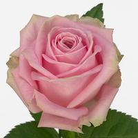 Rose HEIDI, carton de 10 bottes