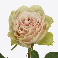 Rose BELL KATHARINA, carton de 10 bottes
